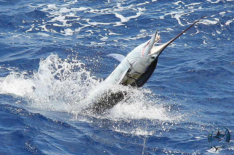 Big Marlin in Panama
