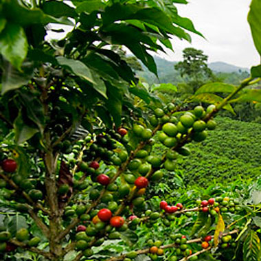 Coffee Farm in Panama.