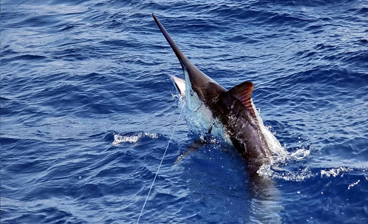 Marlin Hooked