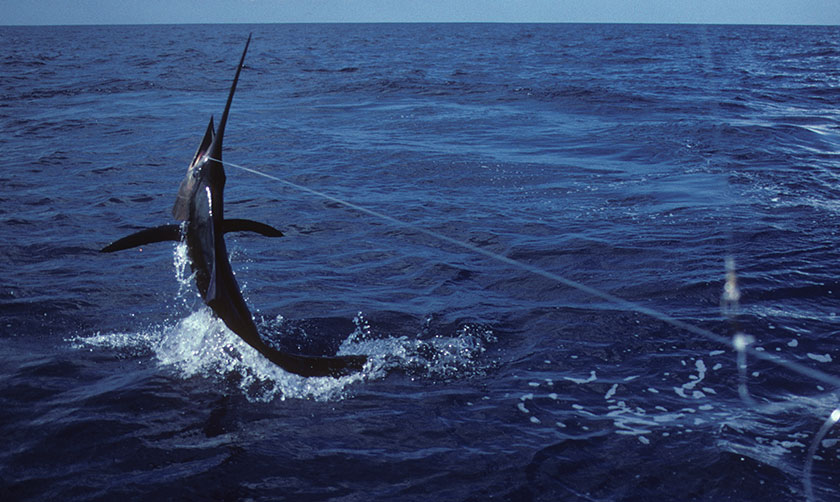 Jumping Marlin in Panama