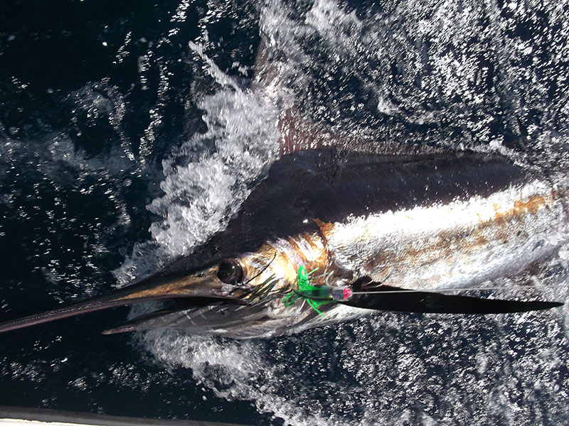 Offshore Marlin Panama