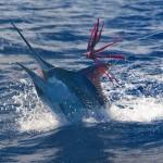 marlin_panama_big_game_fishing4