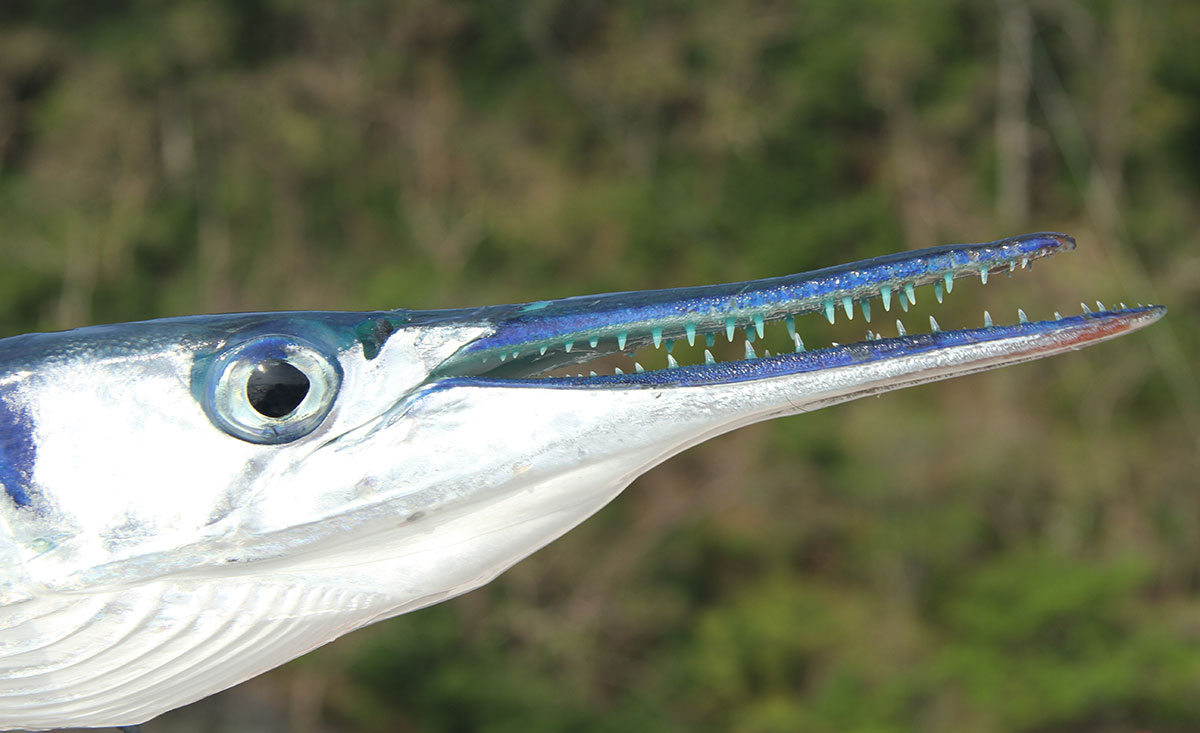 Needlefish Panama