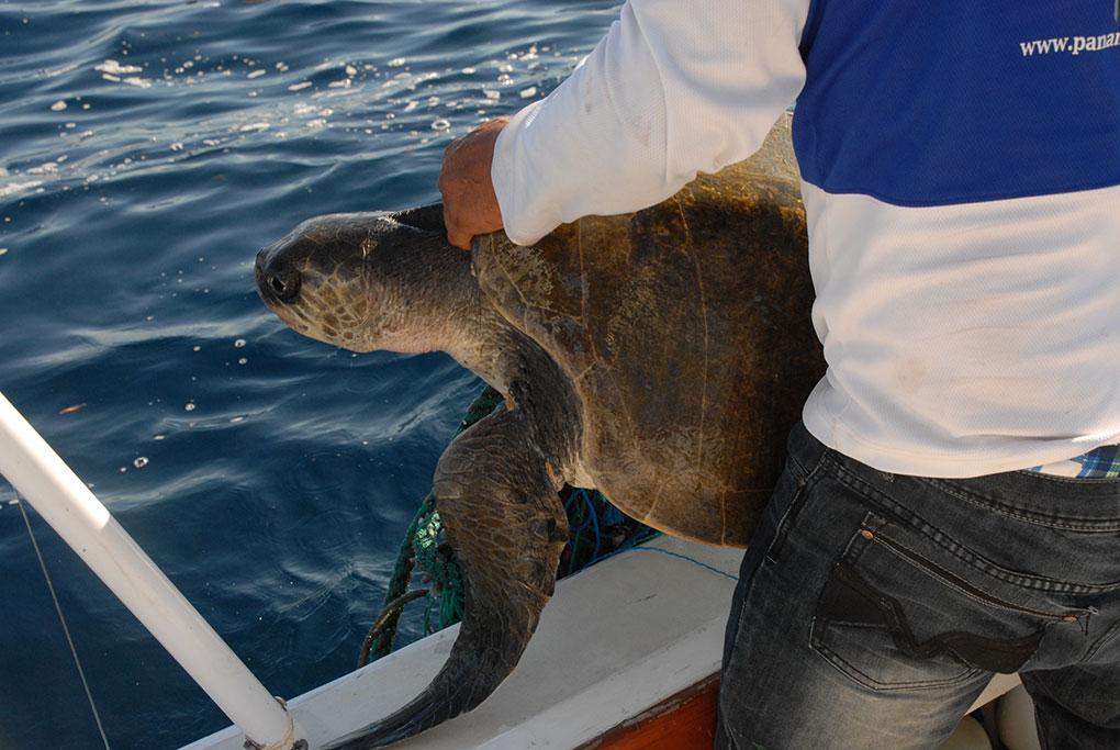 Conservación de la tortuga en Panamá