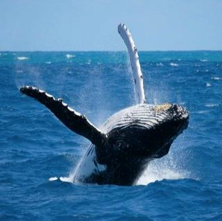 Whale watching in Isla Bocca Brava
