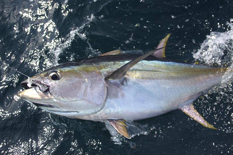 Yellowfin Tuna catch in Panama